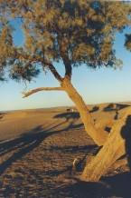 Arbre solitaire, vallée du Drâa, Maroc (février 2001)