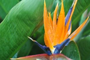 Oiseaux de paradis, la Réunion (octobre 2011)